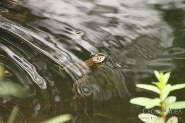 frog_in_pond